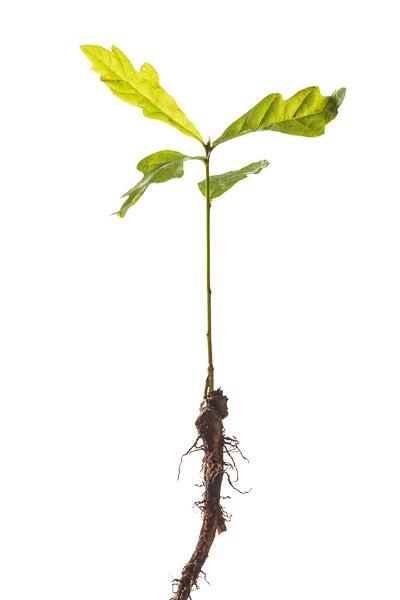 Foto van een jonge eikenboom - stekje