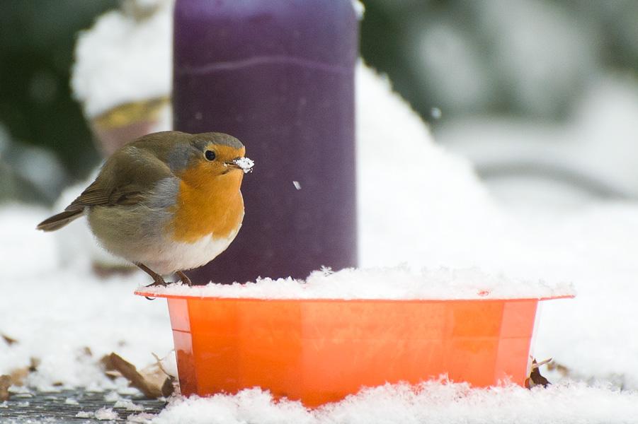 Foto van een roodborstje in de sneeuw