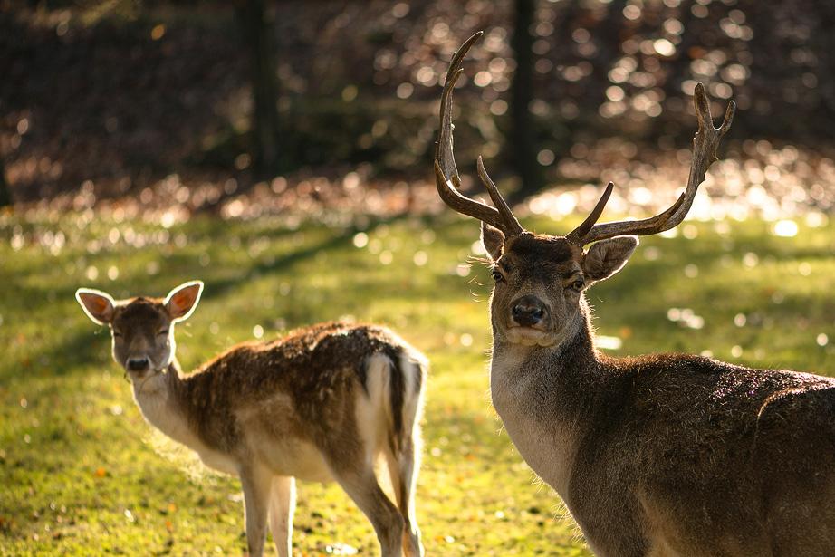 Twee herten in de herfst met tegenlicht