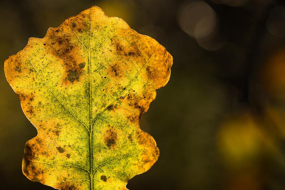 Een rottend herfstblad van een eikenboom gefotografeerd met een macro lens