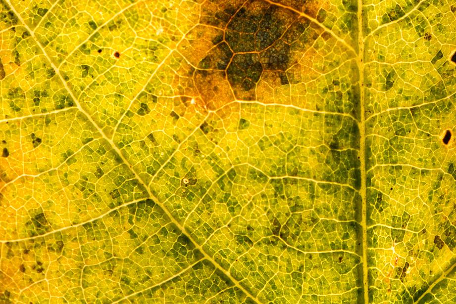 Zeer sterk vergrote foto van een rottend herfstblad