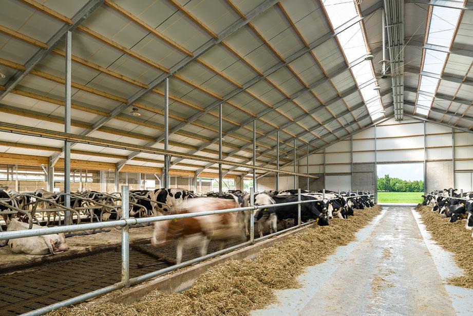 ligboxenstal voor koeien